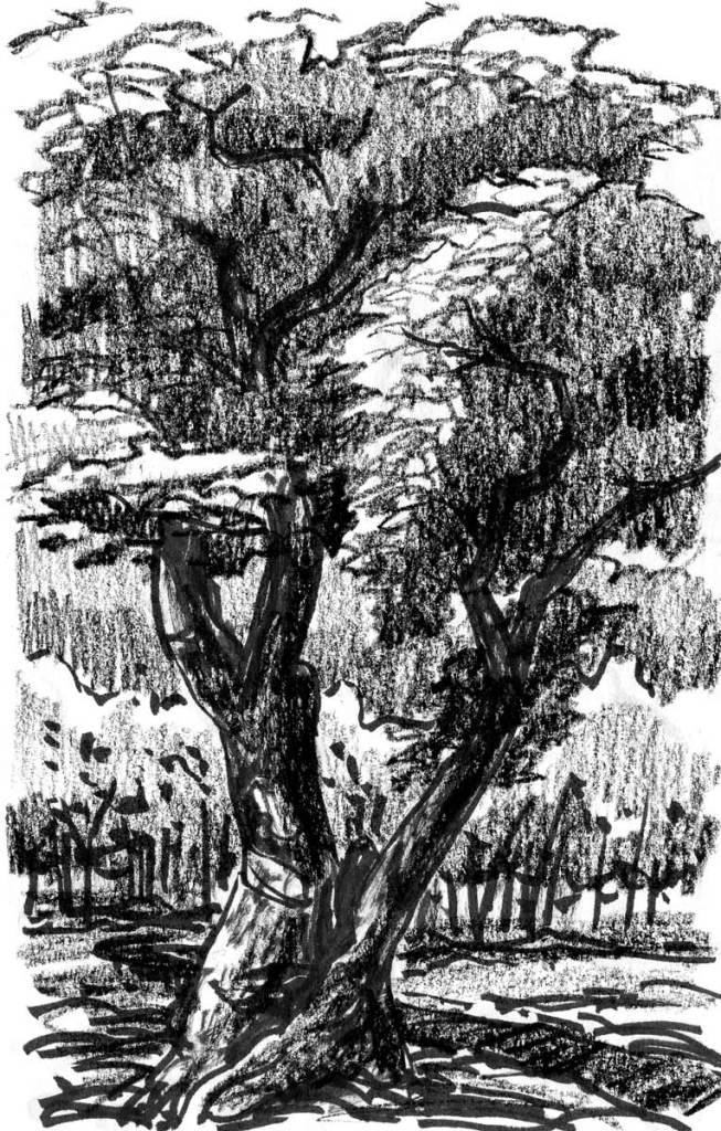 A crayon sketch of a large tree with two main trunks that separate near the bottom.