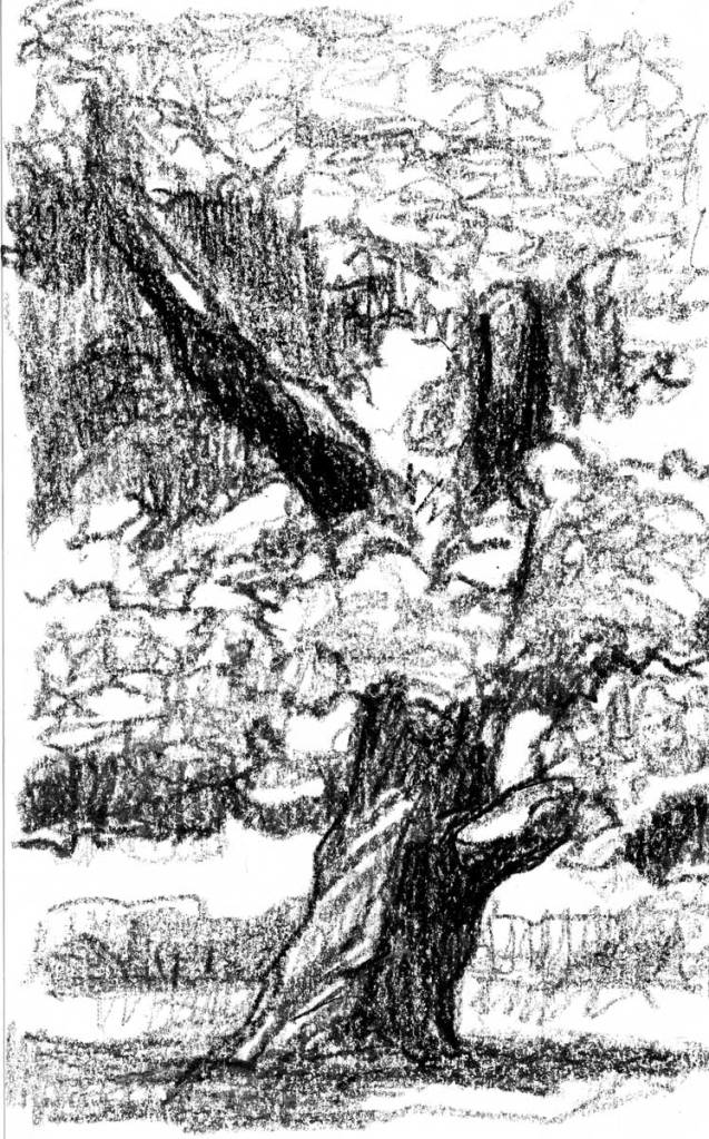 A sketch of an old, leaning Chestnut tree created using a black crayon.